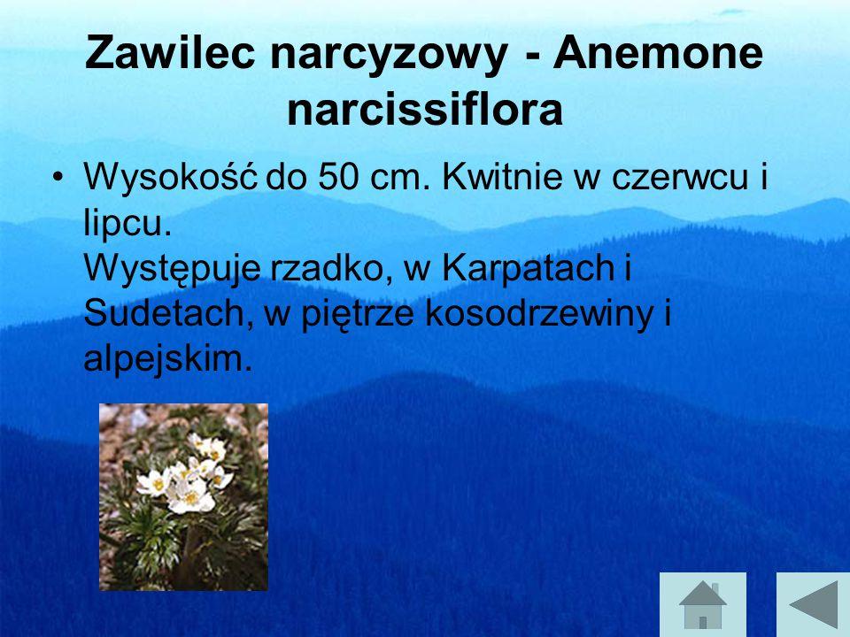 Zawilec narcyzowy - Anemone narcissiflora Wysokość do 50 cm.