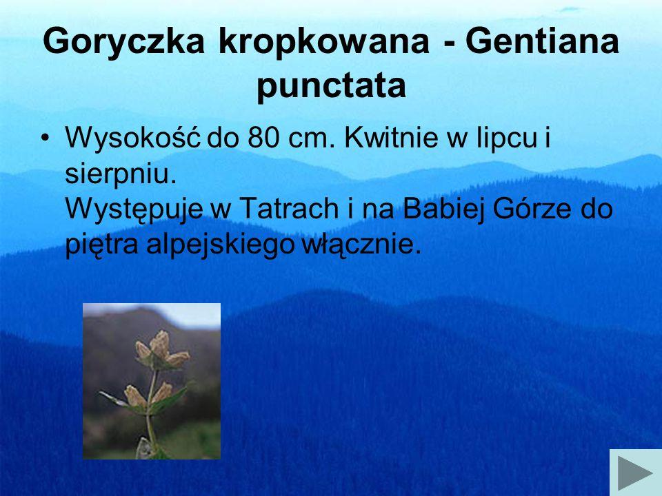 Dzwonek alpejski - Campanula alpina Wysokość do 20 cm.