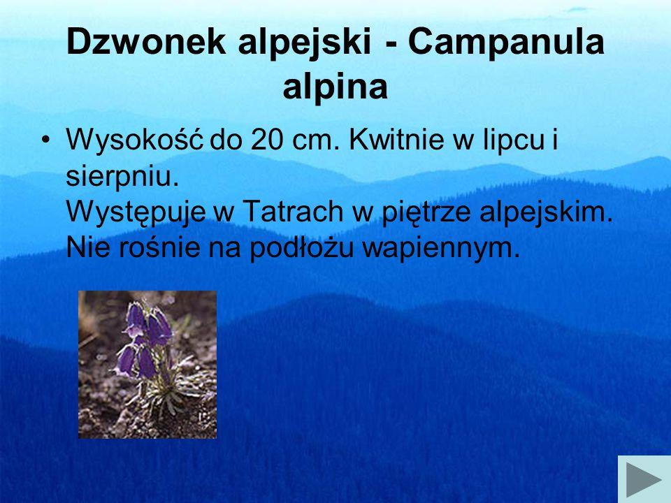 Szarotka alpejska - Leontopodium alpinum Wysokość do 30 cm.