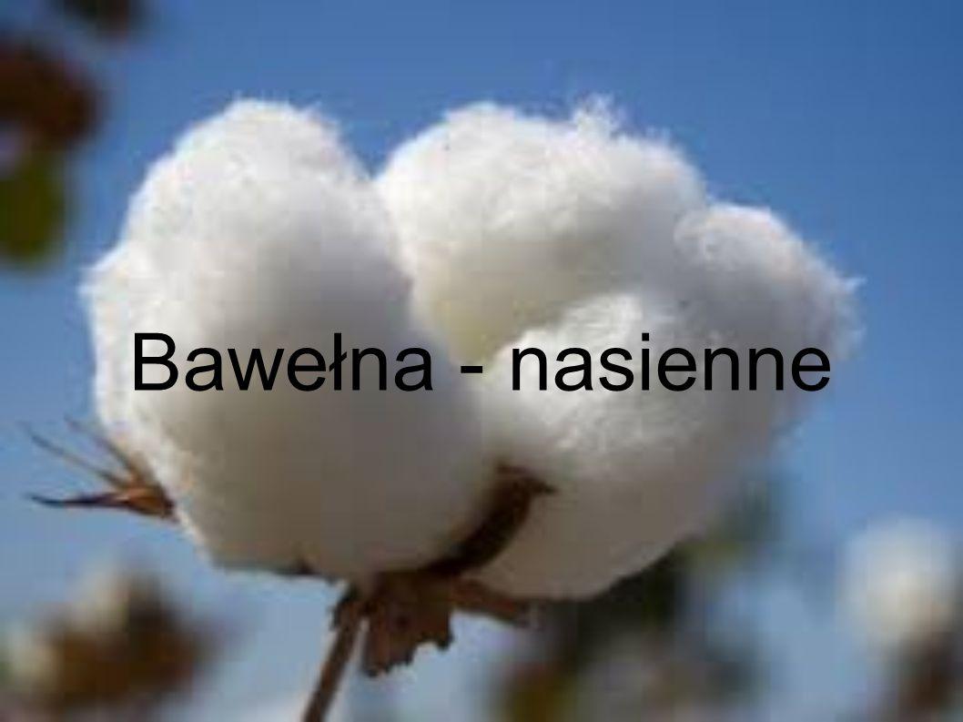 Bawełna - nasienne