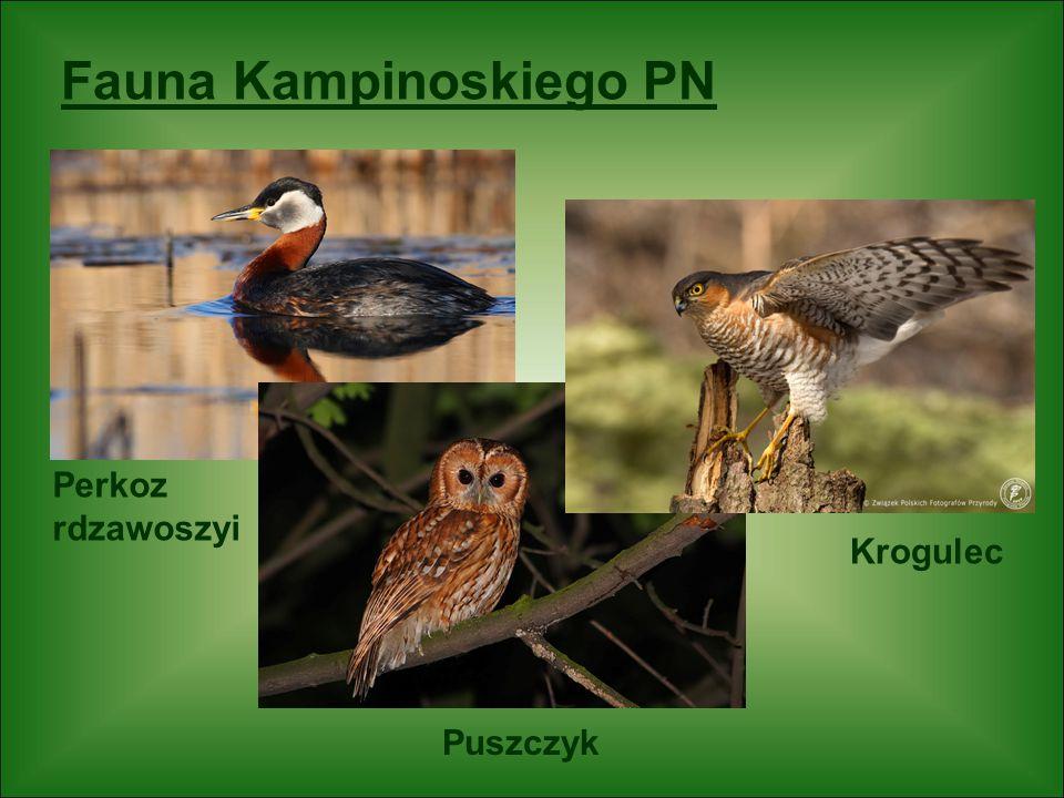 Fauna Kampinoskiego PN Perkoz rdzawoszyi Krogulec Puszczyk