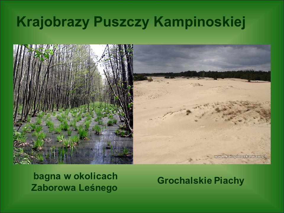 Krajobrazy Puszczy Kampinoskiej bagna w okolicach Zaborowa Leśnego Grochalskie Piachy