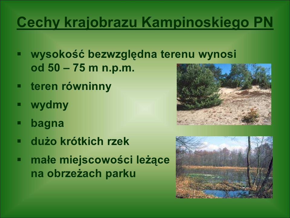 Cechy krajobrazu Kampinoskiego PN  wysokość bezwzględna terenu wynosi od 50 – 75 m n.p.m.  teren równinny  wydmy  bagna  dużo krótkich rzek  mał