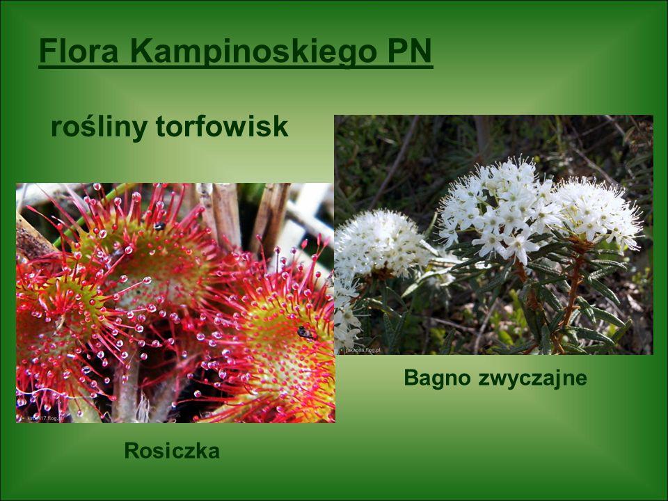Flora Kampinoskiego PN Rosiczka Bagno zwyczajne rośliny torfowisk