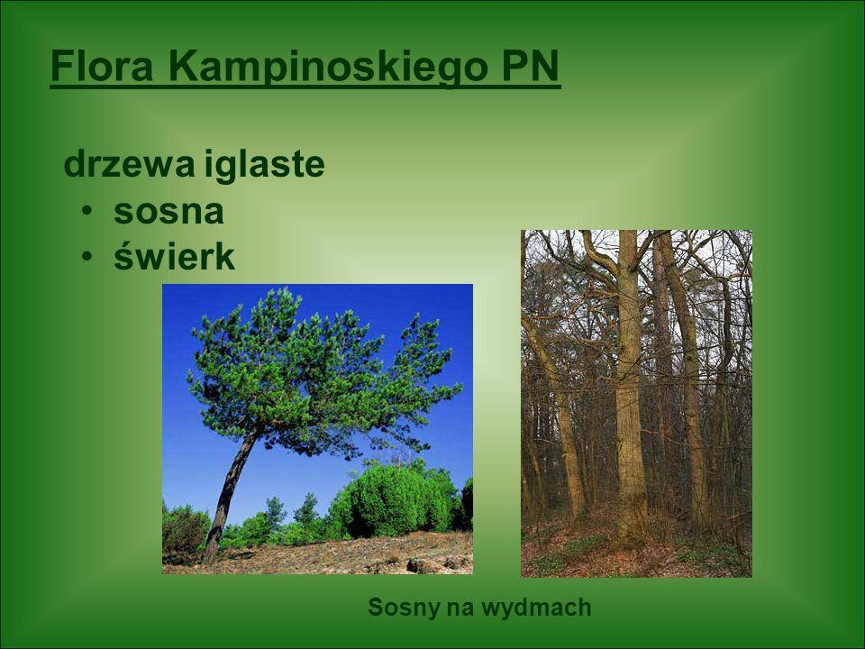Flora Kampinoskiego PN drzewa iglaste sosna świerk Sosny na wydmach