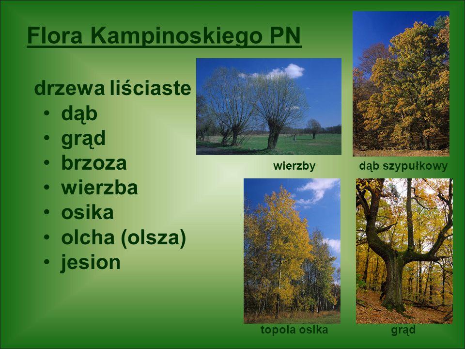 Flora Kampinoskiego PN drzewa liściaste dąb grąd brzoza wierzba osika olcha (olsza) jesion dąb szypułkowy grąd wierzby topola osika