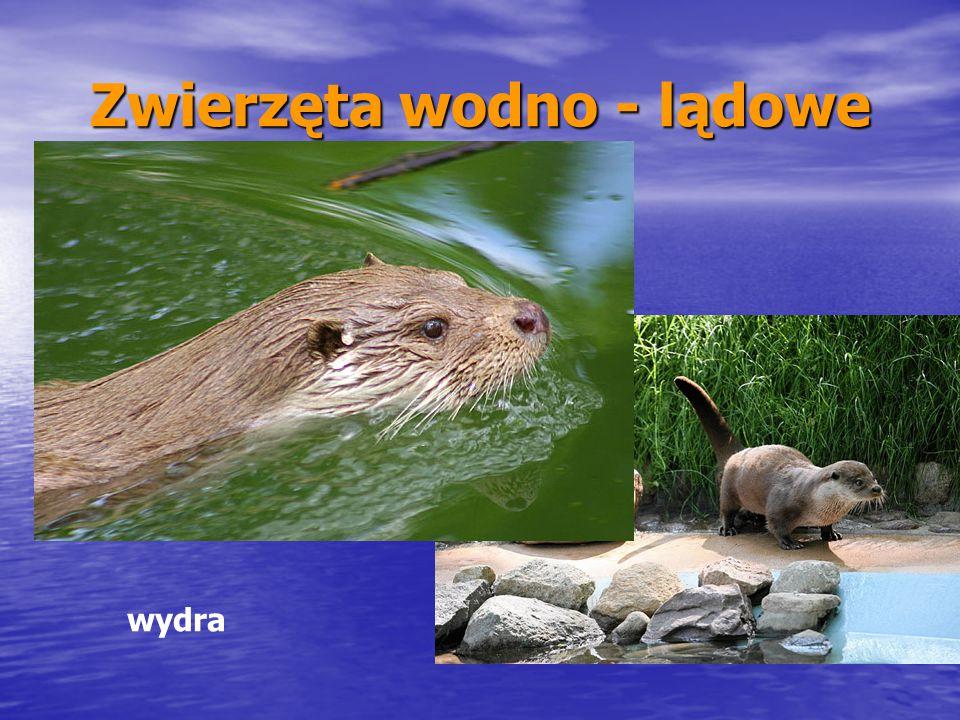 Zwierzęta wodno - lądowe wydra