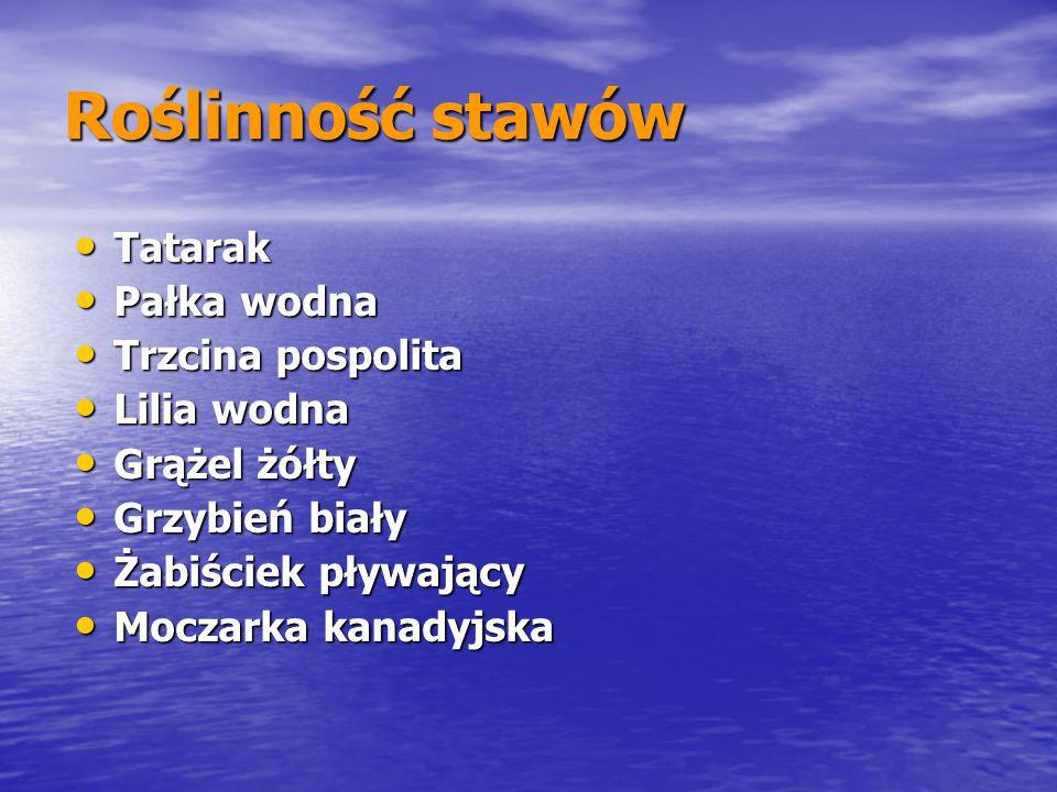 Roślinność stawów Tatarak Tatarak Pałka wodna Pałka wodna Trzcina pospolita Trzcina pospolita Lilia wodna Lilia wodna Grążel żółty Grążel żółty Grzybi