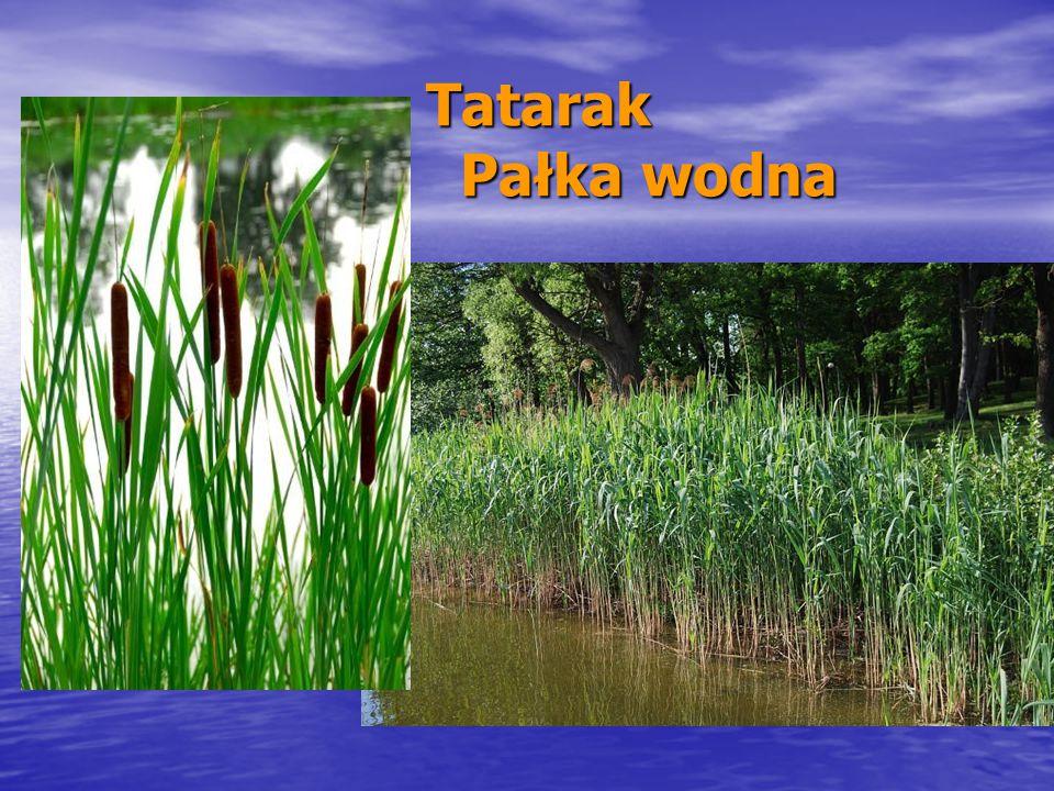 Tatarak Pałka wodna Tatarak Pałka wodna