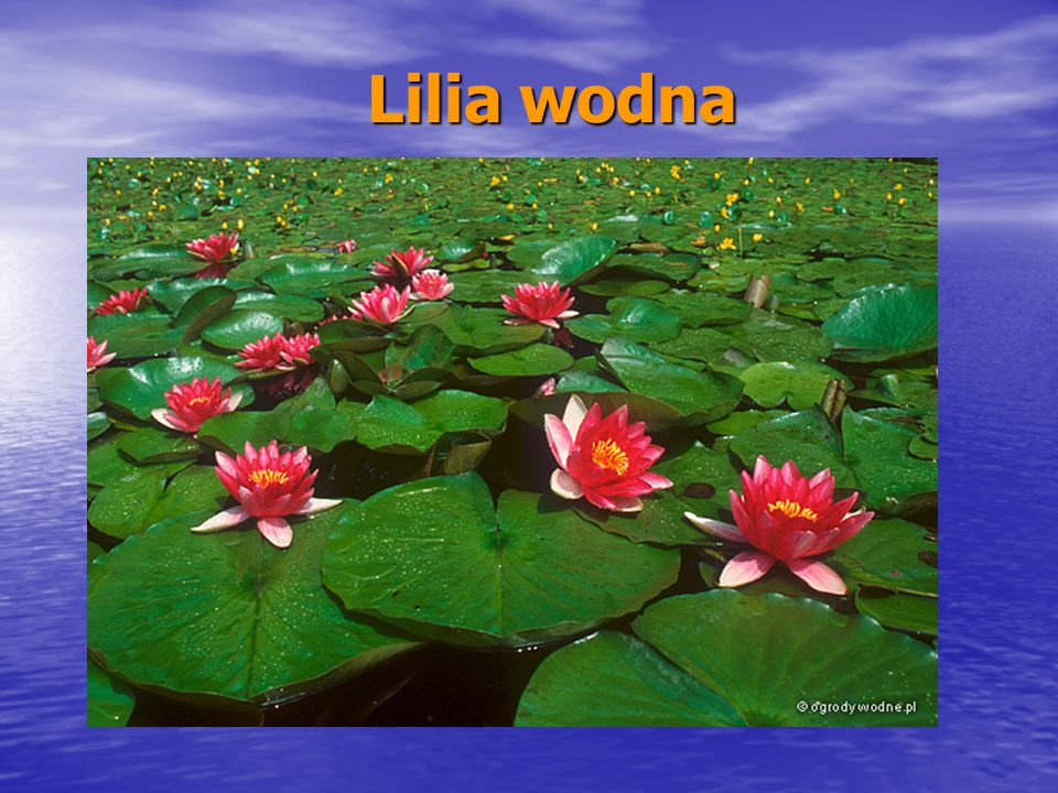 Lilia wodna Lilia wodna