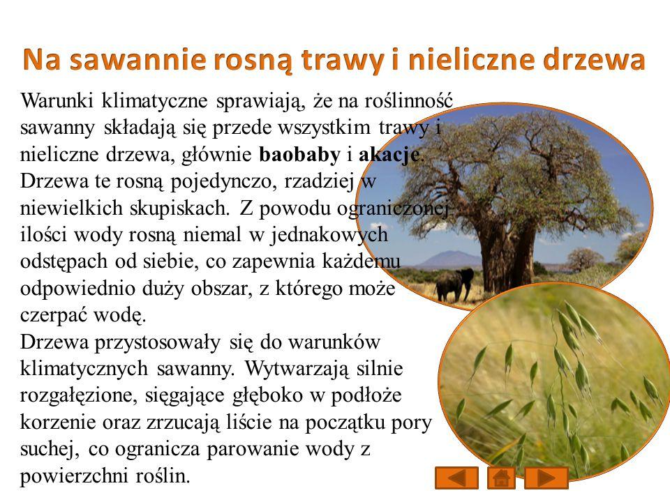 Warunki klimatyczne sprawiają, że na roślinność sawanny składają się przede wszystkim trawy i nieliczne drzewa, głównie baobaby i akacje.