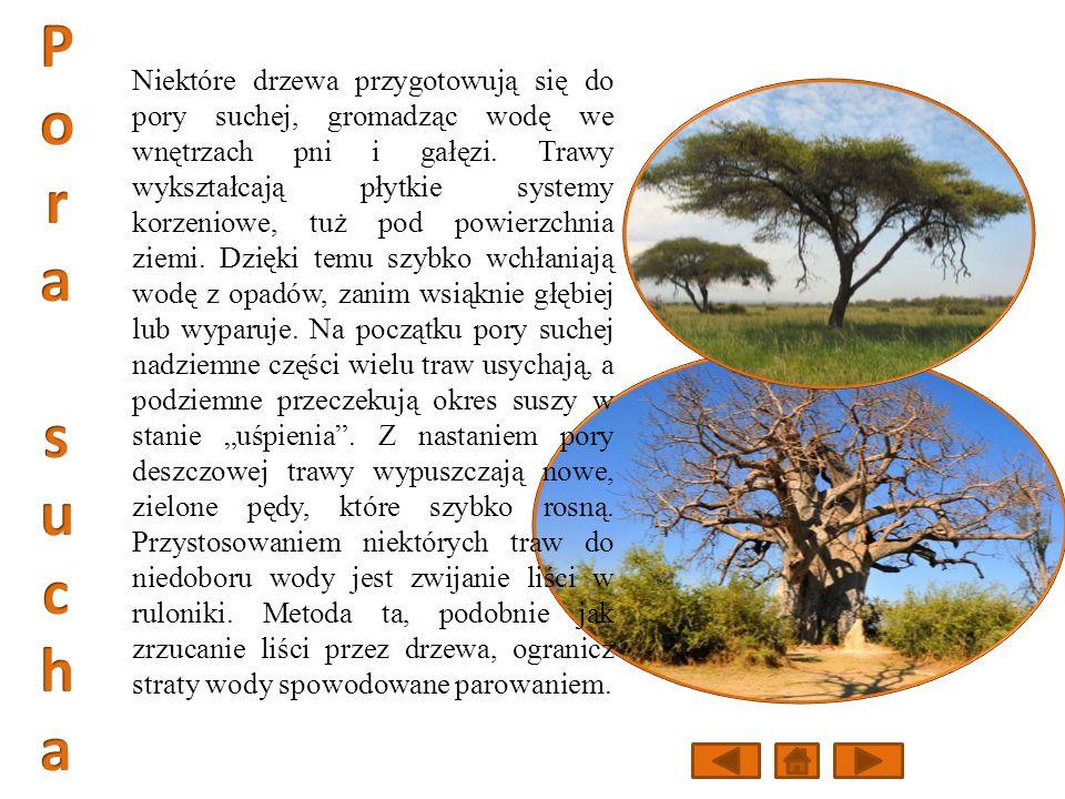 Niektóre drzewa przygotowują się do pory suchej, gromadząc wodę we wnętrzach pni i gałęzi.