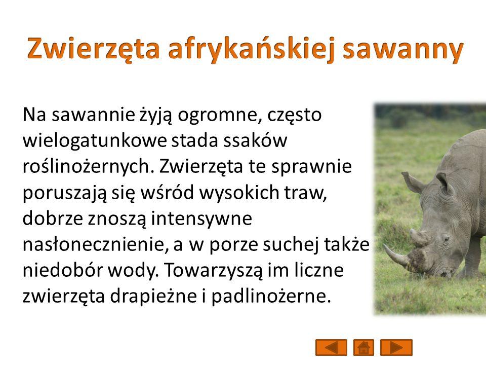 Na sawannie żyją ogromne, często wielogatunkowe stada ssaków roślinożernych.