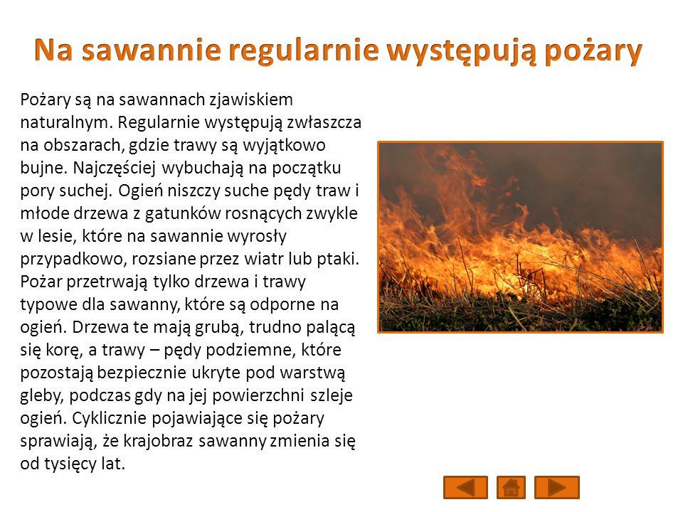 Pożary są na sawannach zjawiskiem naturalnym.