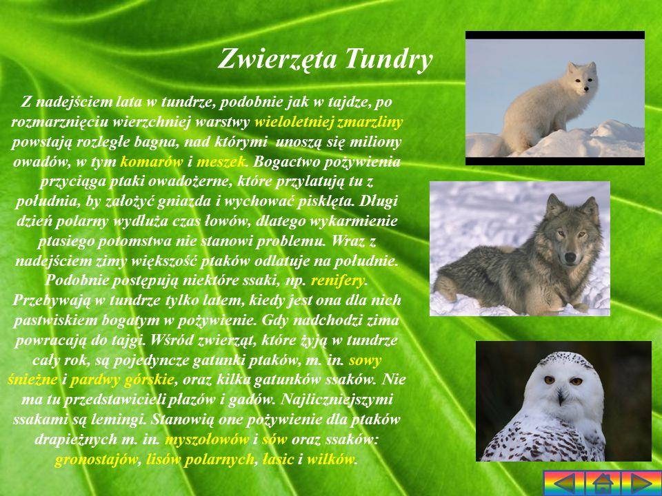 Mieszkańcy Tundry Strefa tundry jest prawie zupełnie pozbawiona ludzkich osiedli.