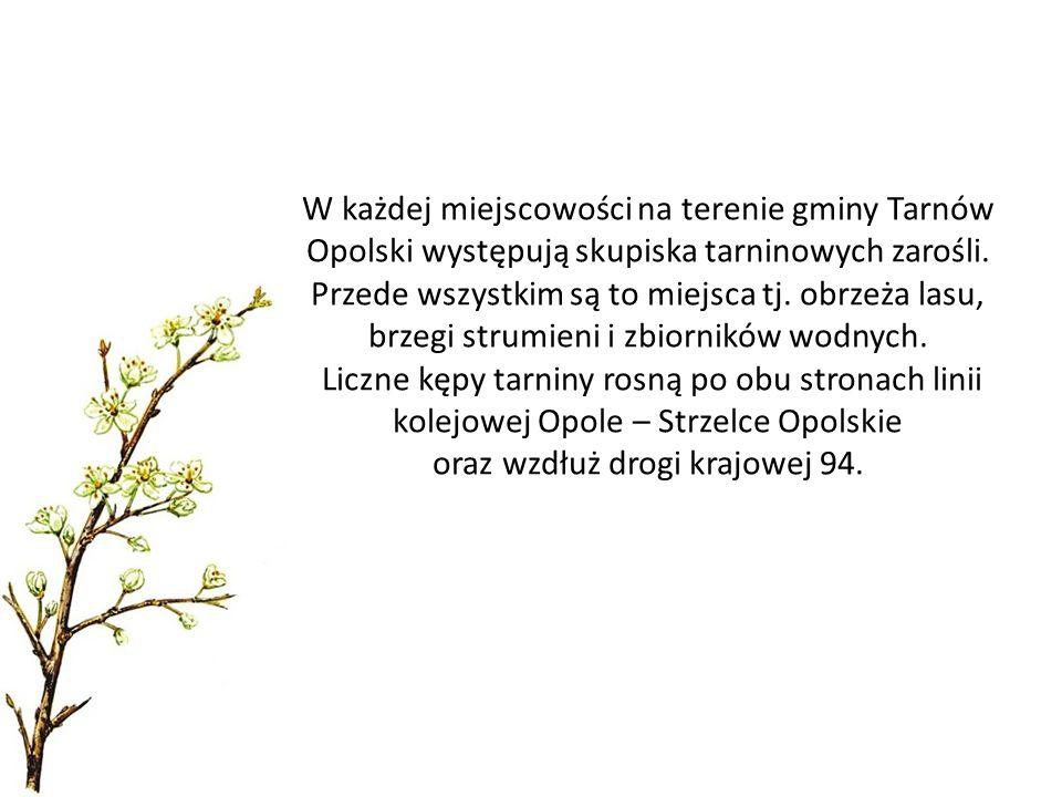 W każdej miejscowości na terenie gminy Tarnów Opolski występują skupiska tarninowych zarośli. Przede wszystkim są to miejsca tj. obrzeża lasu, brzegi