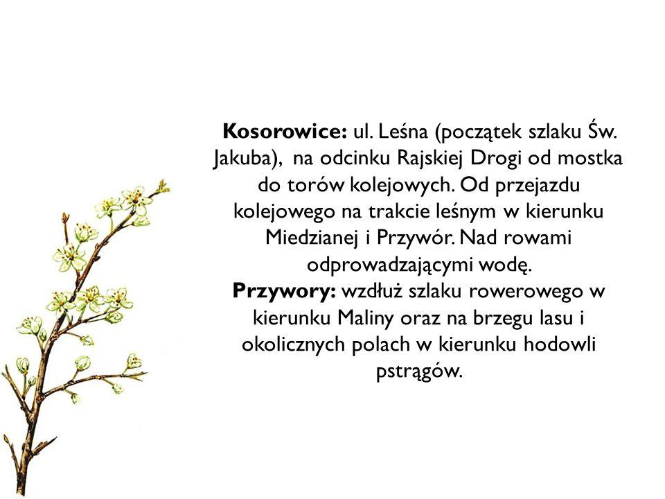 Kosorowice: ul.Leśna (początek szlaku Św.
