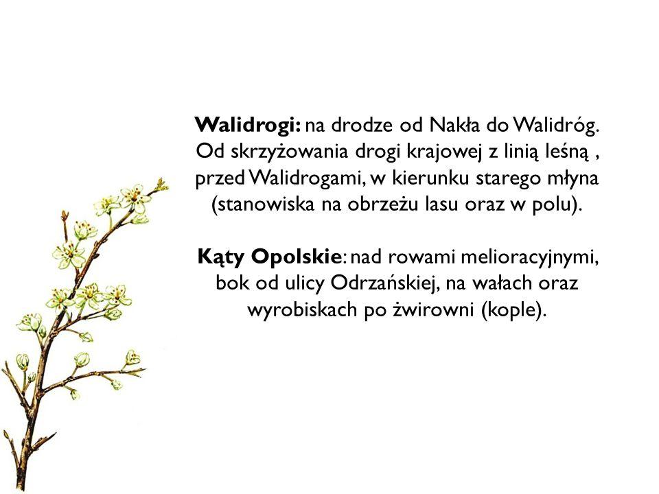 Walidrogi: na drodze od Nakła do Walidróg. Od skrzyżowania drogi krajowej z linią leśną, przed Walidrogami, w kierunku starego młyna (stanowiska na ob