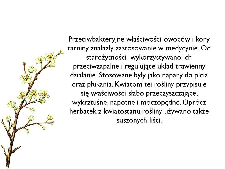Przeciwbakteryjne właściwości owoców i kory tarniny znalazły zastosowanie w medycynie. Od starożytności wykorzystywano ich przeciwzapalne i regulujące