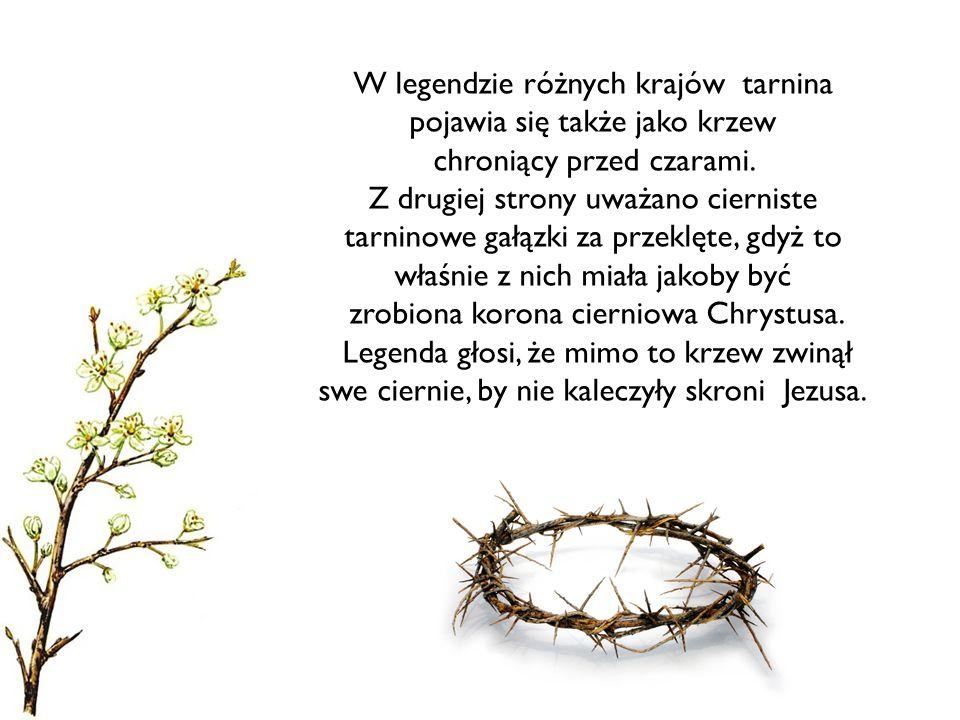 W legendzie różnych krajów tarnina pojawia się także jako krzew chroniący przed czarami. Z drugiej strony uważano cierniste tarninowe gałązki za przek