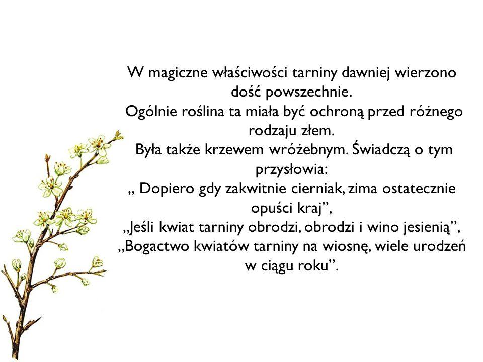 W magiczne właściwości tarniny dawniej wierzono dość powszechnie. Ogólnie roślina ta miała być ochroną przed różnego rodzaju złem. Była także krzewem