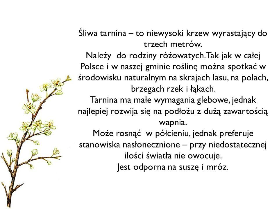 Śliwa tarnina – to niewysoki krzew wyrastający do trzech metrów. Należy do rodziny różowatych. Tak jak w całej Polsce i w naszej gminie roślinę można