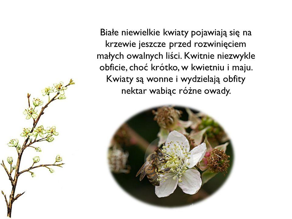 Białe niewielkie kwiaty pojawiają się na krzewie jeszcze przed rozwinięciem małych owalnych liści. Kwitnie niezwykle obficie, choć krótko, w kwietniu