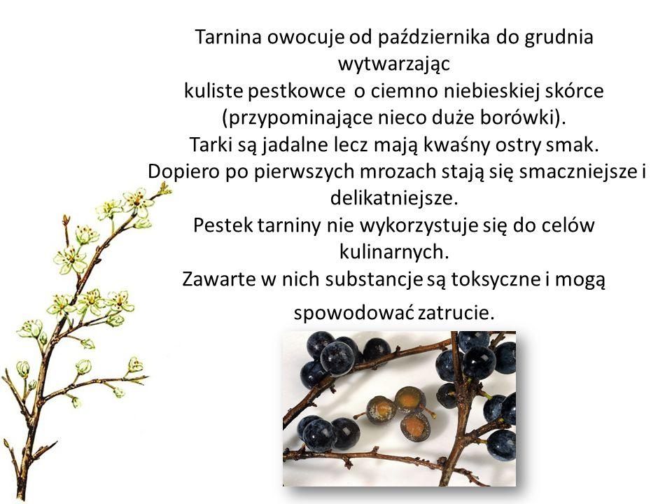 Tarnina owocuje od października do grudnia wytwarzając kuliste pestkowce o ciemno niebieskiej skórce (przypominające nieco duże borówki).