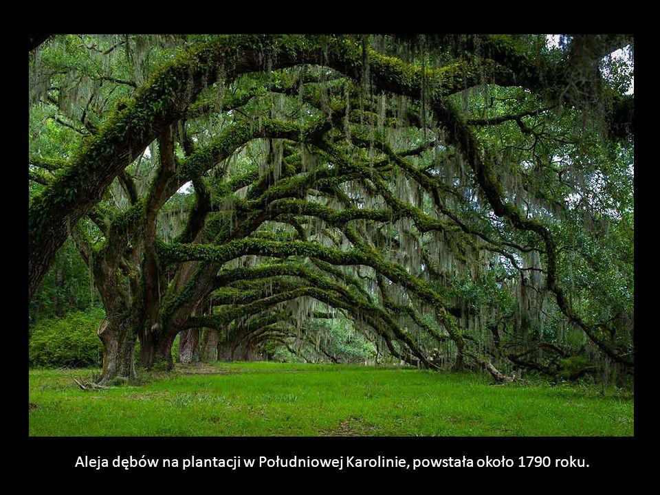 Niesamowity dąb - anioł, Charleston, Południowa Karolina.