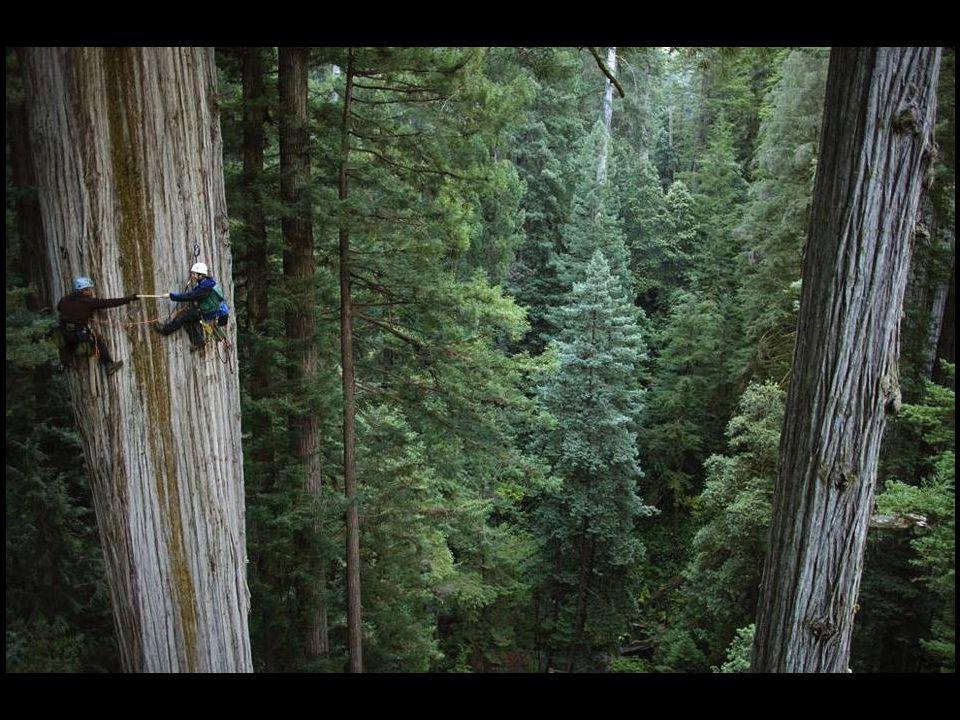 Prezydent – trzecia największa sekwoja na świecie, znajdująca się w Kalifornii. Ma 73 metrów wysokości oraz 28 metrów w obwodzie, średnica pnia 8 m.