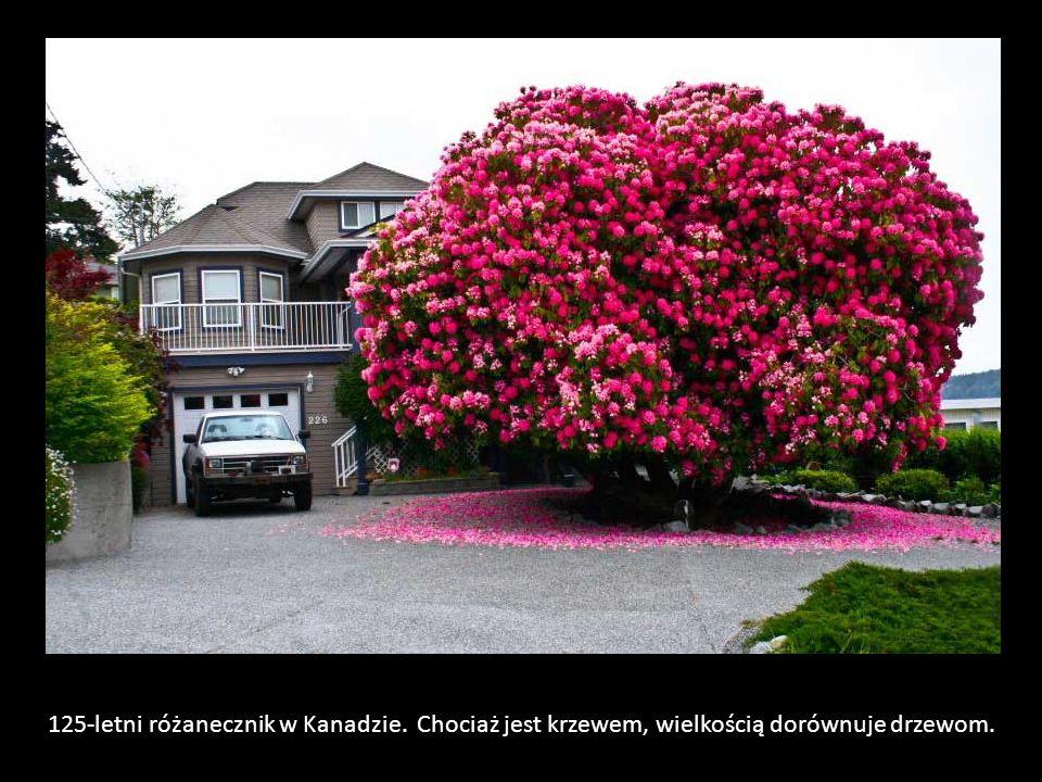125-letni różanecznik w Kanadzie. Chociaż jest krzewem, wielkością dorównuje drzewom.