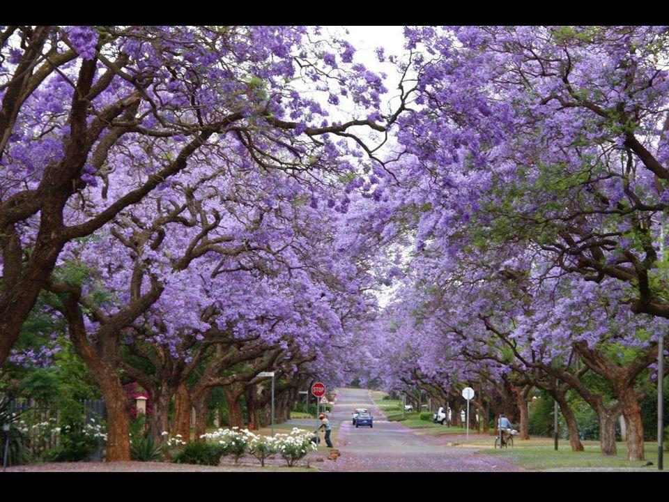 Jacaranda - szafirowe drzewo różane, Cullinan, Południowa Afryka.