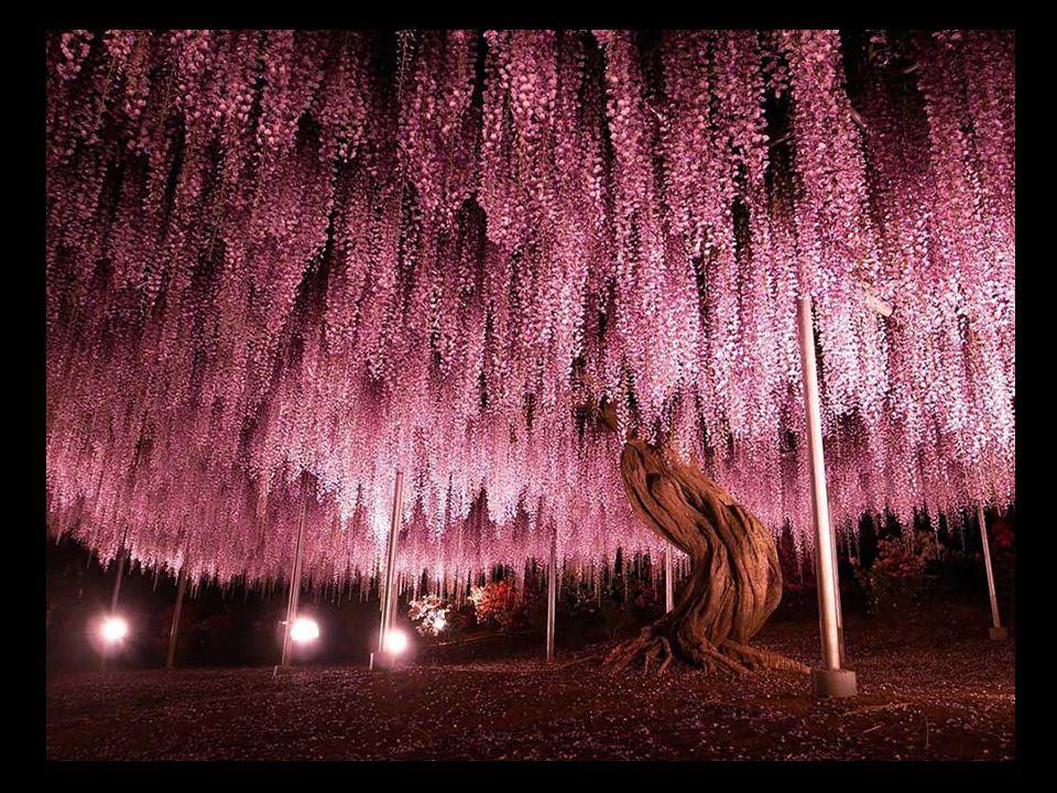 144-letnia wisteria (glicynia) w Japonii, zajmuje powierzchnię 1990 m 2