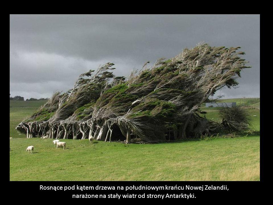 Rosnące pod kątem drzewa na południowym krańcu Nowej Zelandii, narażone na stały wiatr od strony Antarktyki.