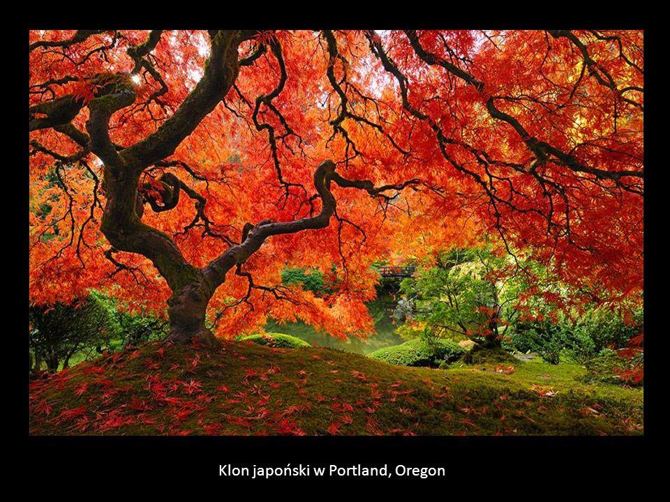 Klon japoński w Portland, Oregon