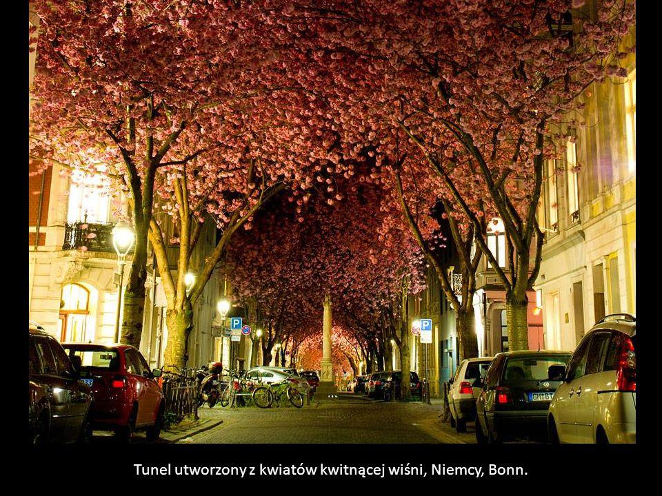 Tunel utworzony z kwiatów kwitnącej wiśni, Niemcy, Bonn.