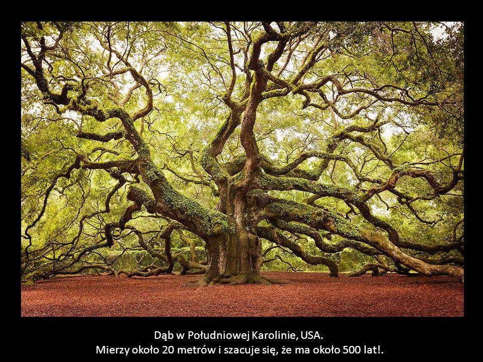 Drzewo jest zarówno wyjątkowo piękne jak również przydatne.