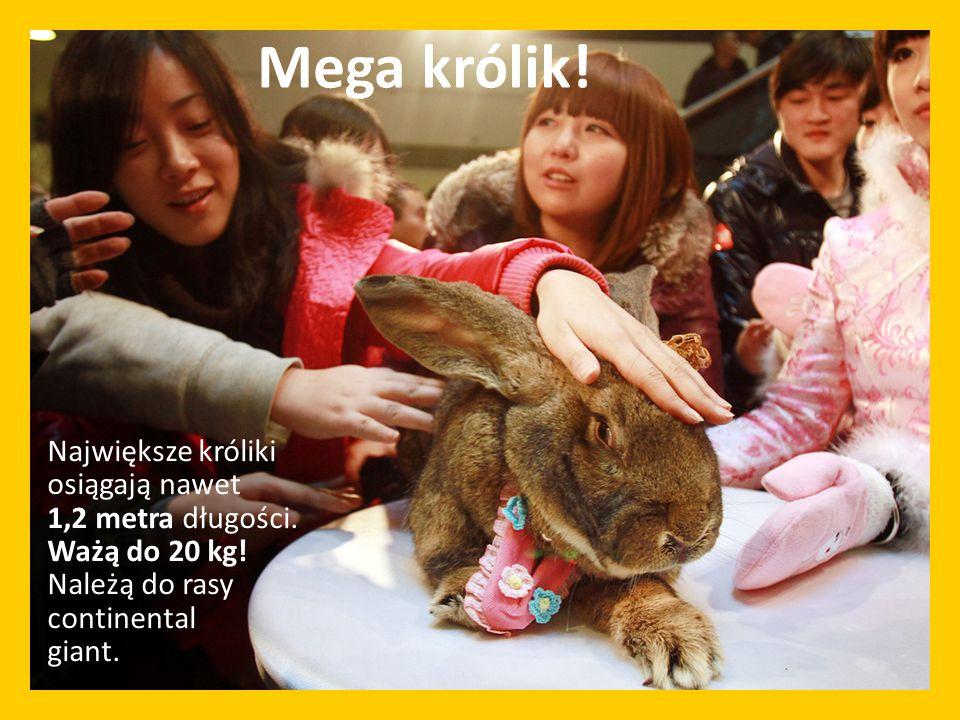 Największe króliki osiągają nawet 1,2 metra długości. Ważą do 20 kg! Należą do rasy continental giant. Mega królik!