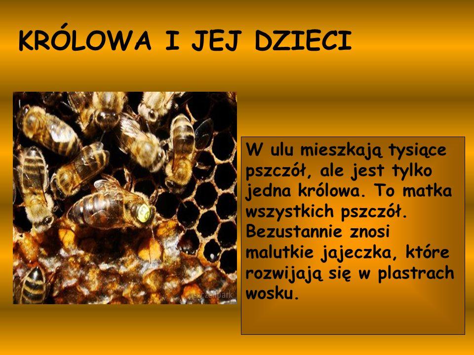 W ulu mieszkają tysiące pszczół, ale jest tylko jedna królowa. To matka wszystkich pszczół. Bezustannie znosi malutkie jajeczka, które rozwijają się w