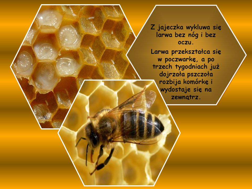Z jajeczka wykluwa się larwa bez nóg i bez oczu. Larwa przekształca się w poczwarkę, a po trzech tygodniach już dojrzała pszczoła rozbija komórkę i wy