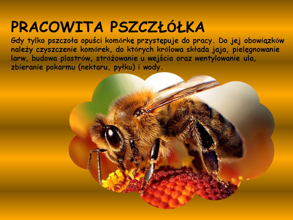 PRACOWITA PSZCZŁ Ó ŁKA Gdy tylko pszczoła opuści kom ó rkę przystępuje do pracy. Do jej obowiązk ó w należy czyszczenie kom ó rek, do kt ó rych kr ó l