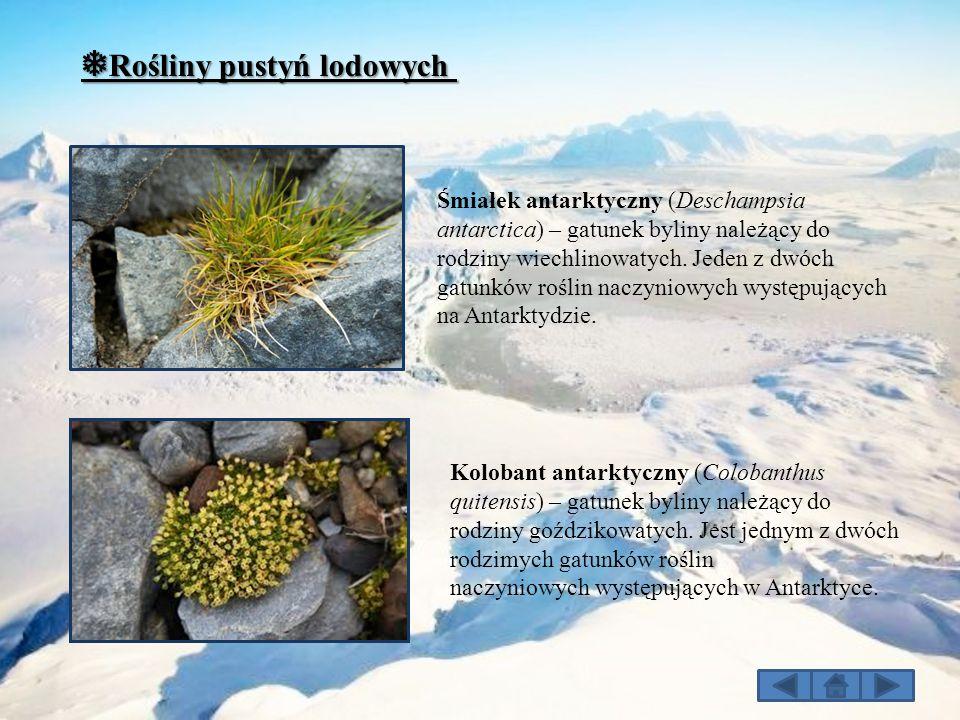 ❅ Rośliny pustyń lodowych Kolobant antarktyczny (Colobanthus quitensis) – gatunek byliny należący do rodziny goździkowatych. Jest jednym z dwóch rodzi