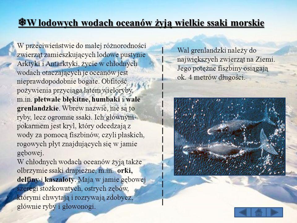 ❅ W lodowych wodach oceanów żyją wielkie ssaki morskie W przeciwieństwie do małej różnorodności zwierząt zamieszkujących lodowe pustynie Arktyki i Ant
