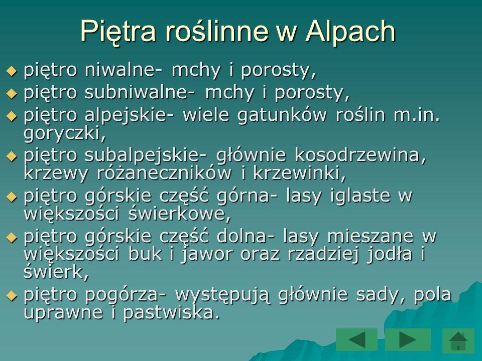 Piętra roślinne w Alpach  piętro niwalne- mchy i porosty,  piętro subniwalne- mchy i porosty,  piętro alpejskie- wiele gatunków roślin m.in. gorycz