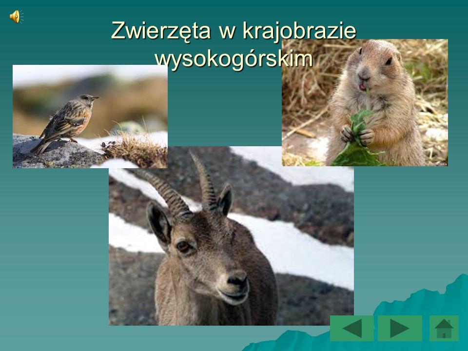 Zwierzęta żyjące w wysokich górach  Kręgowce  Kozice górskie  Koziorożce alpejskie  Świstaki alpejskie  Płochacze halne  Orły przednie  Bezkręgowce  Salamandry  Żmije  Jaszczurki