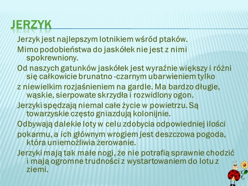 Jerzyk jest najlepszym lotnikiem wśród ptaków.