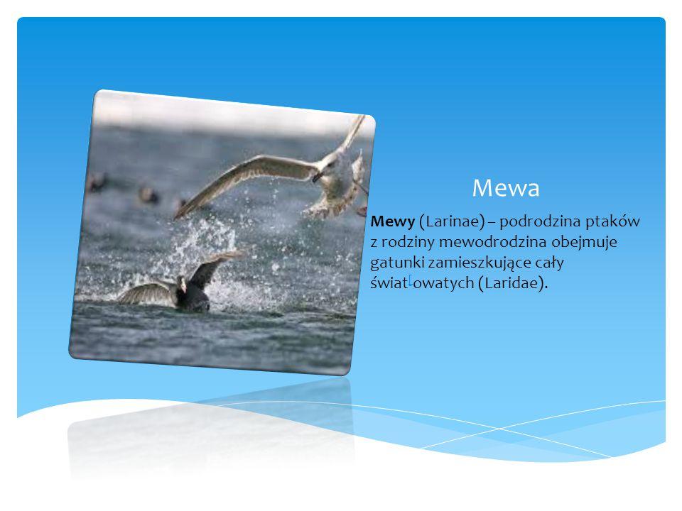 Mewa Mewy (Larinae) – podrodzina ptaków z rodziny mewodrodzina obejmuje gatunki zamieszkujące cały świat [ owatych (Laridae).