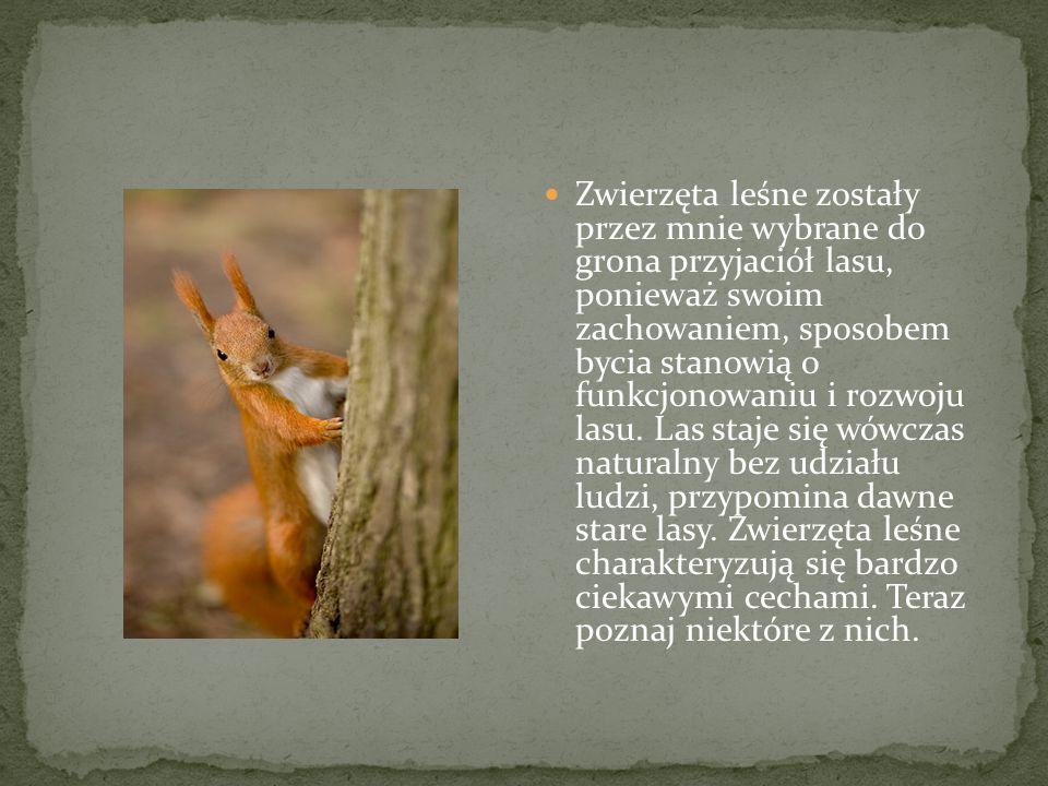 Zwierzęta leśne zostały przez mnie wybrane do grona przyjaciół lasu, ponieważ swoim zachowaniem, sposobem bycia stanowią o funkcjonowaniu i rozwoju lasu.
