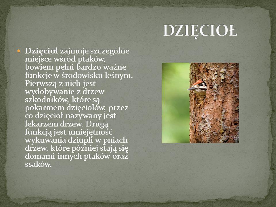 Dzięcioł zajmuje szczególne miejsce wśród ptaków, bowiem pełni bardzo ważne funkcje w środowisku leśnym.