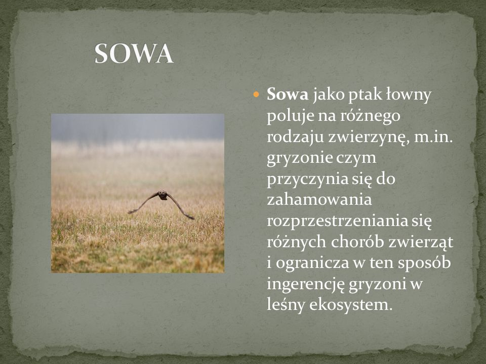 Sowa jako ptak łowny poluje na różnego rodzaju zwierzynę, m.in.